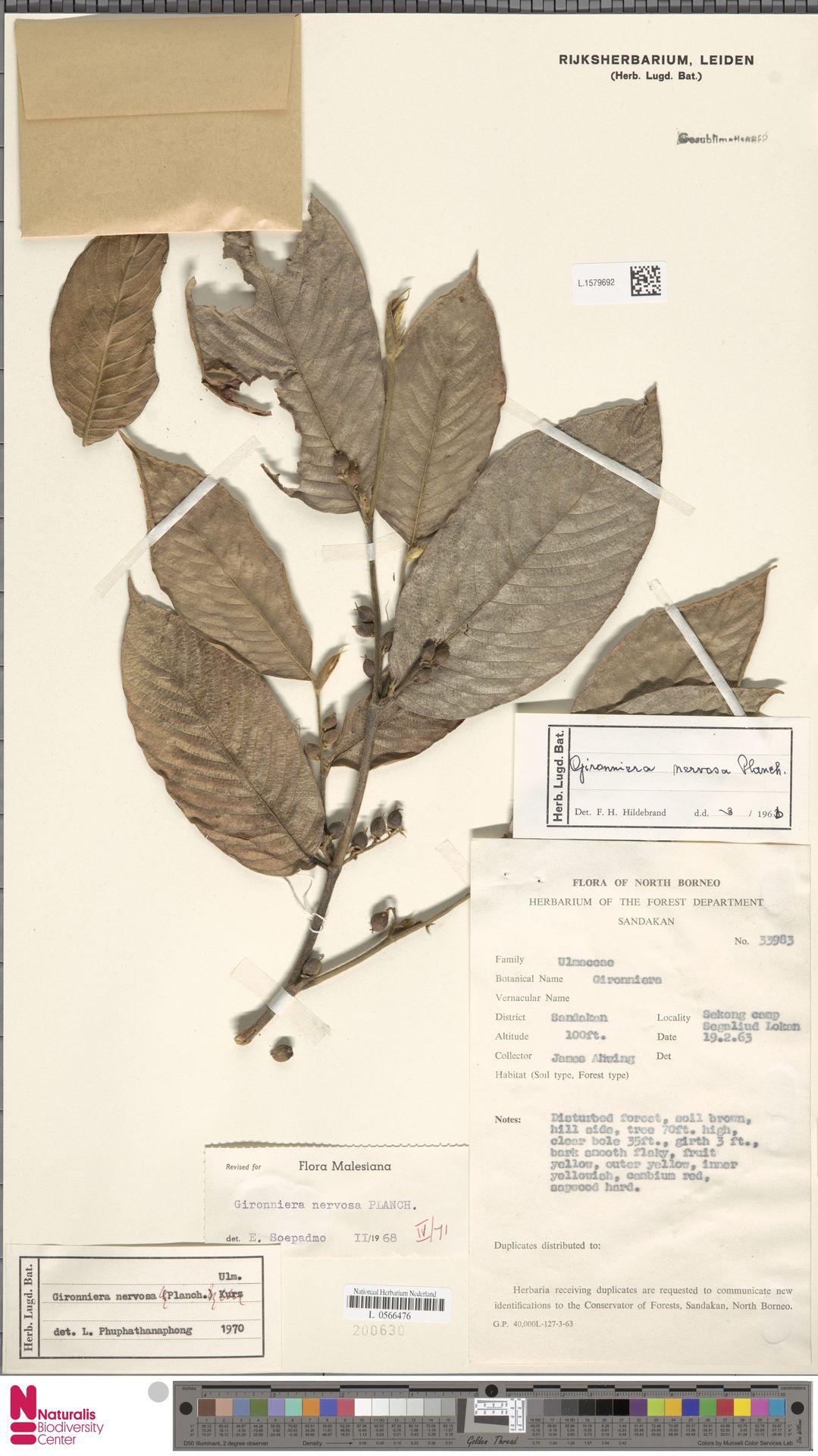 L.1579692 | Gironniera nervosa Planch.