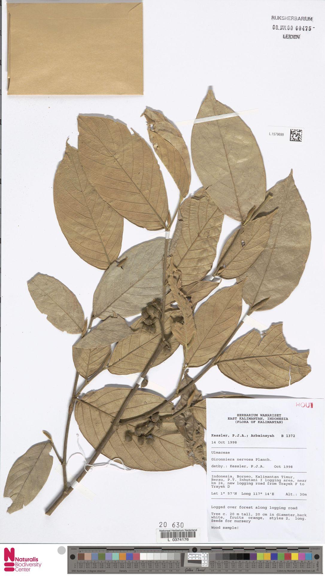 L.1579699 | Gironniera nervosa Planch.