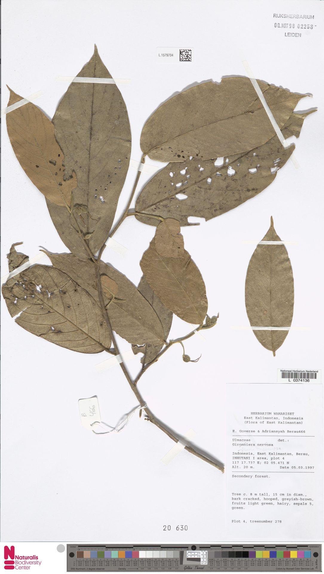 L.1579704   Gironniera nervosa Planch.