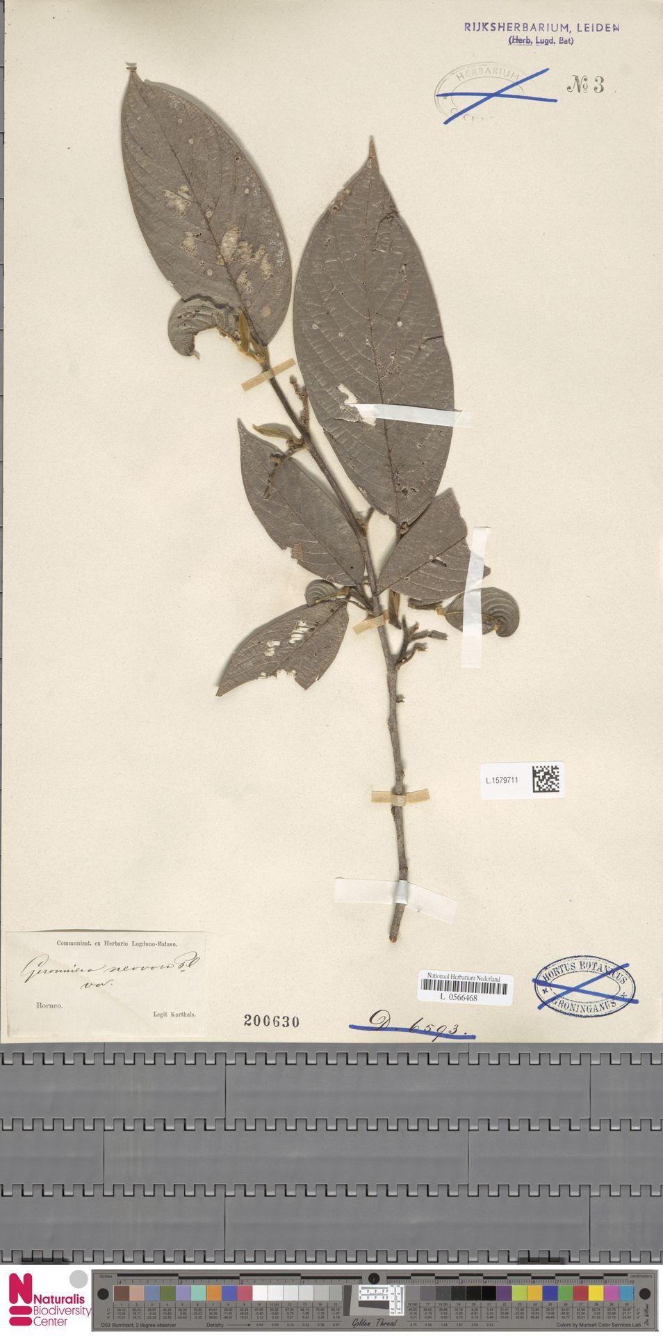L.1579711 | Gironniera nervosa Planch.