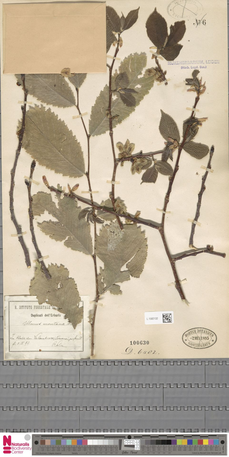 L.1582132 | Ulmus montana With.