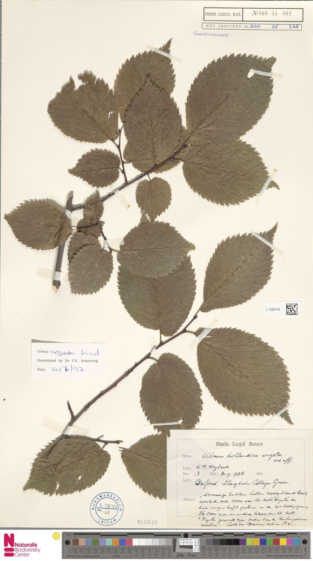 L.1582476   Ulmus vegeta Ley
