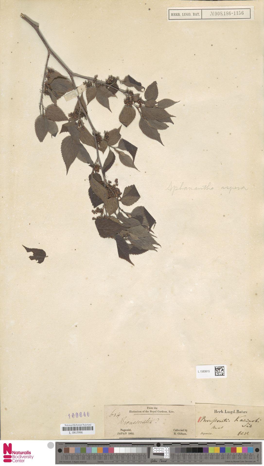 L.1583615 | Broussonetia kazinoki Siebold