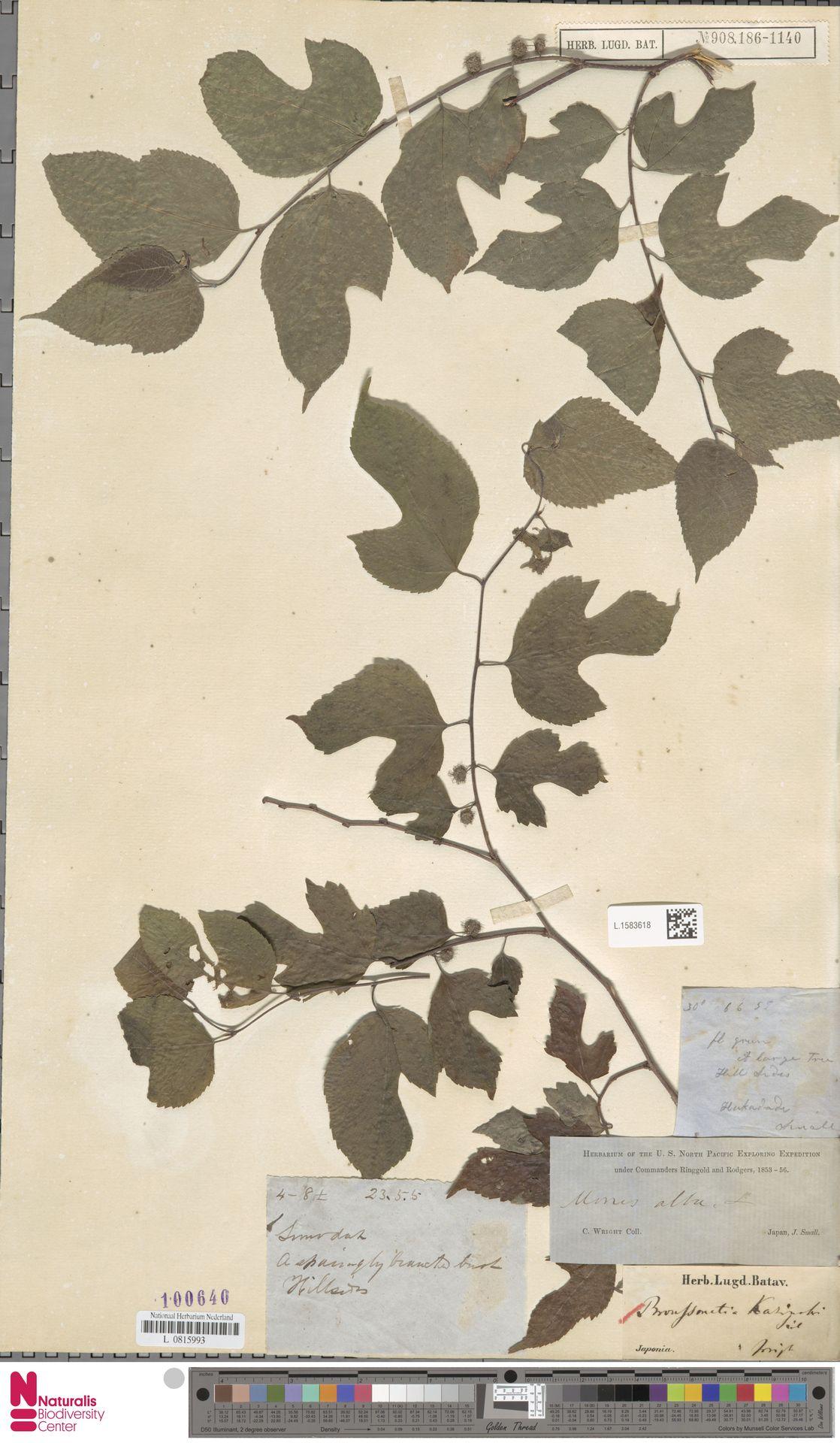 L.1583618 | Broussonetia kazinoki Siebold