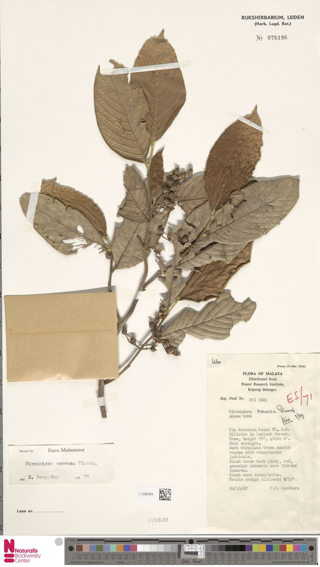 L.1586364 | Gironniera nervosa Planch.