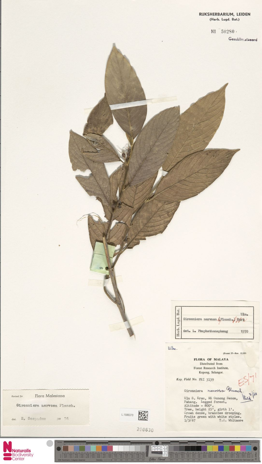 L.1586370 | Gironniera nervosa Planch.