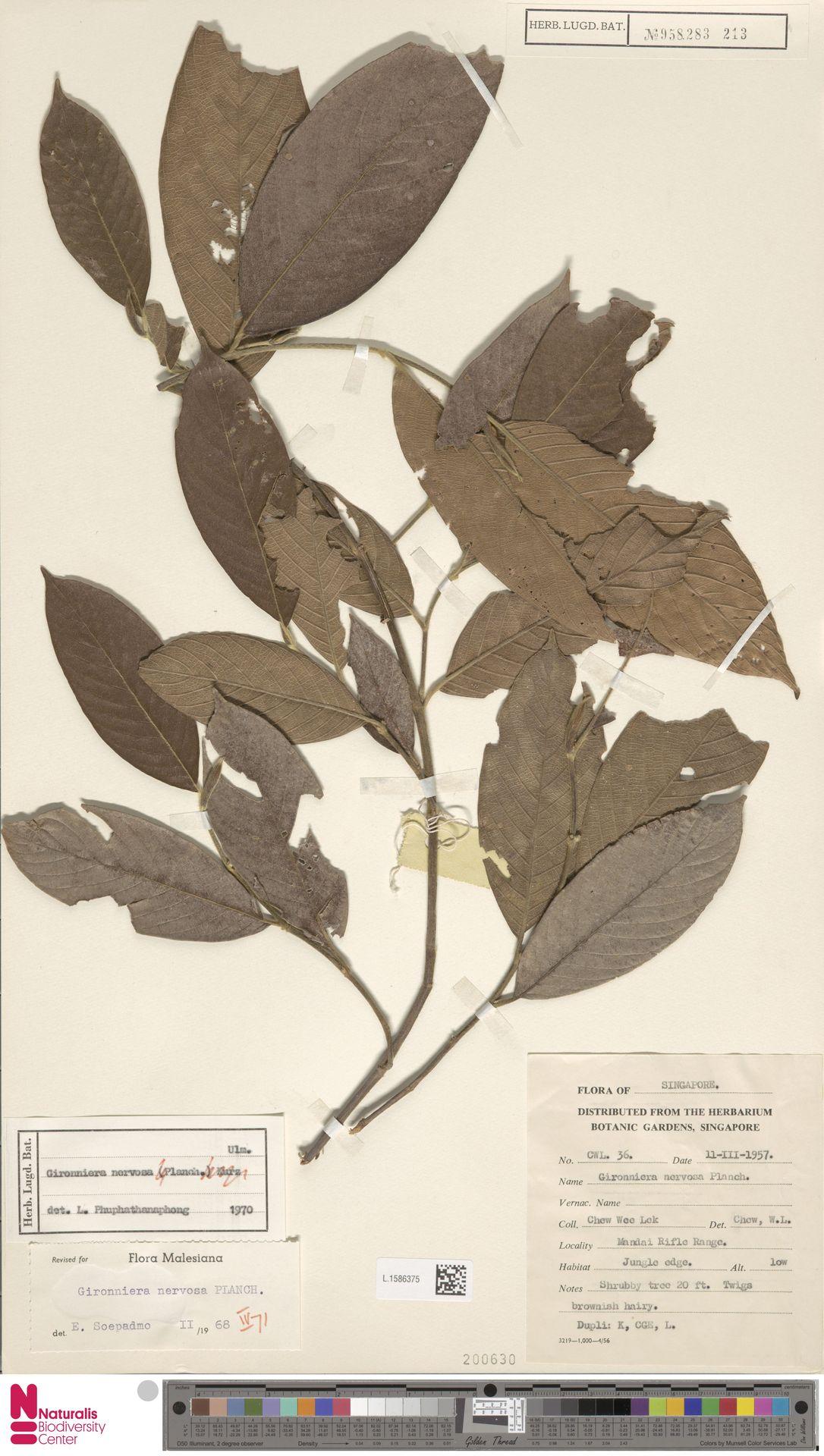 L.1586375 | Gironniera nervosa Planch.