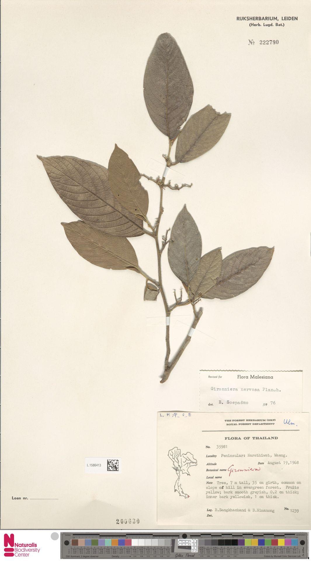 L.1586413 | Gironniera nervosa Planch.