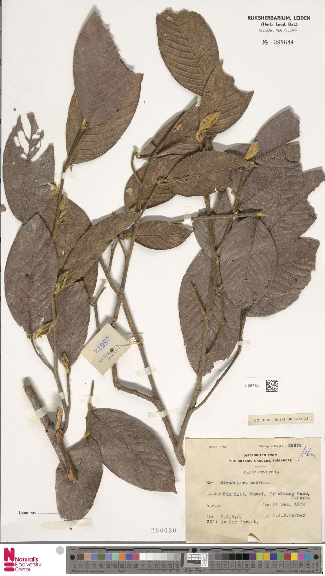 L.1586434 | Gironniera nervosa Planch.