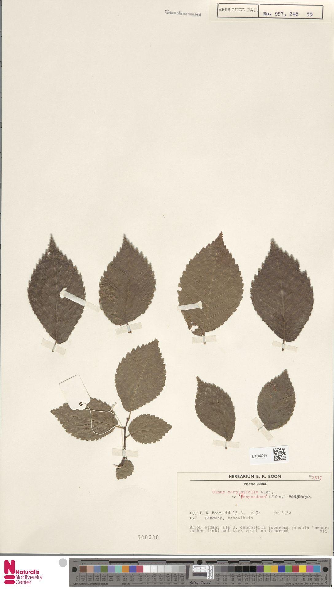 L.1586965   Ulmus carpinifolia cv. Ssp.