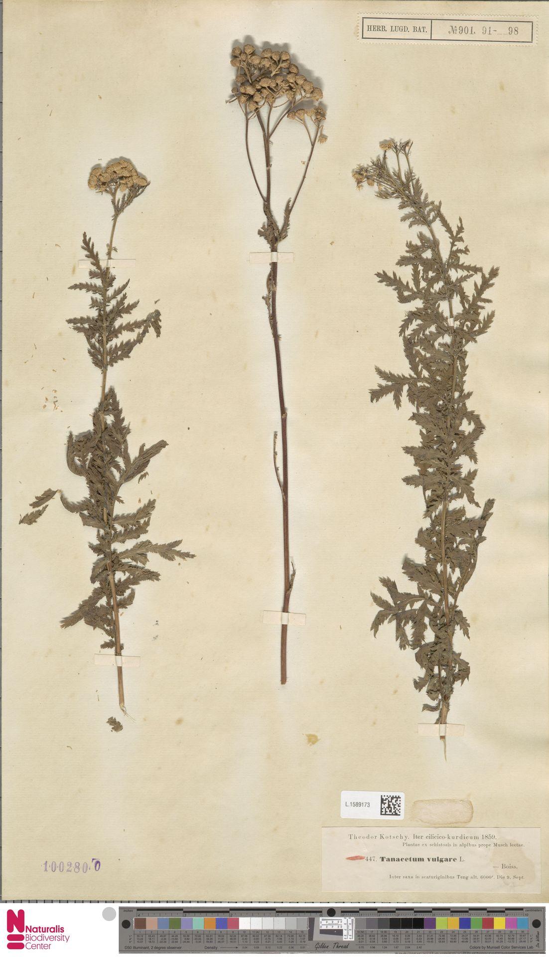 L.1589173   Tanacetum vulgare L.