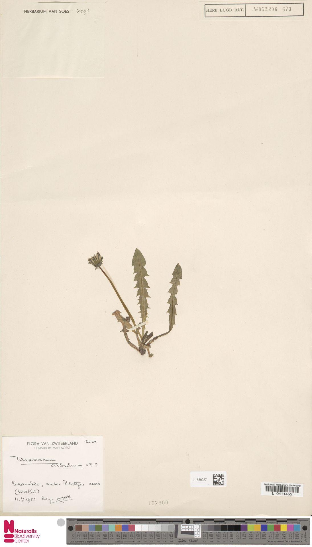 L.1589227 | Taraxacum albulense Soest