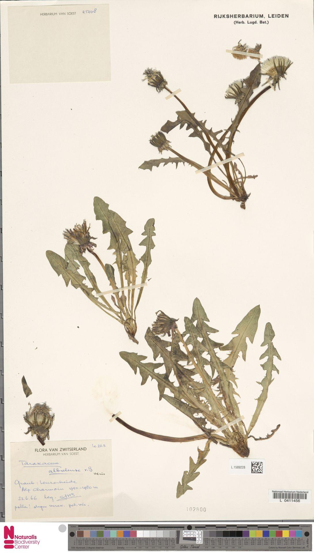 L.1589228   Taraxacum albulense Soest
