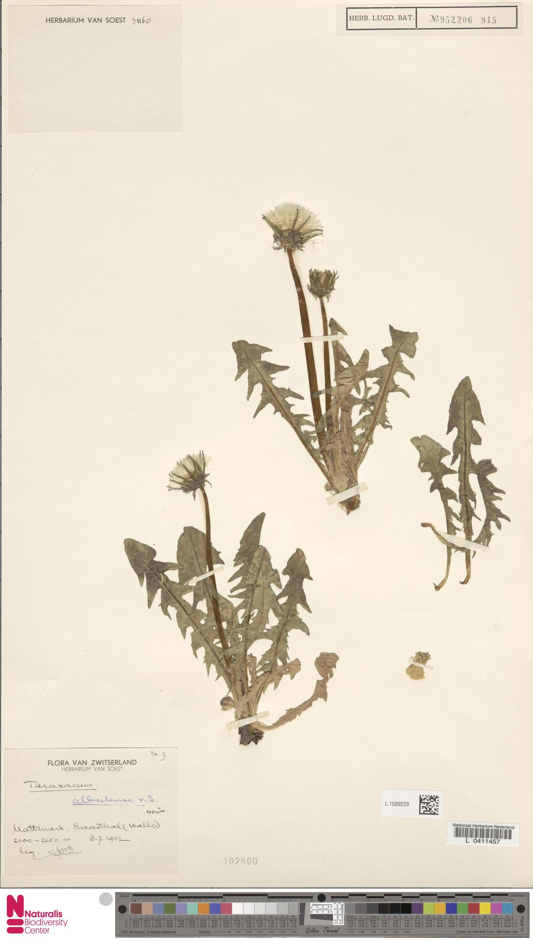 L.1589229 | Taraxacum albulense Soest
