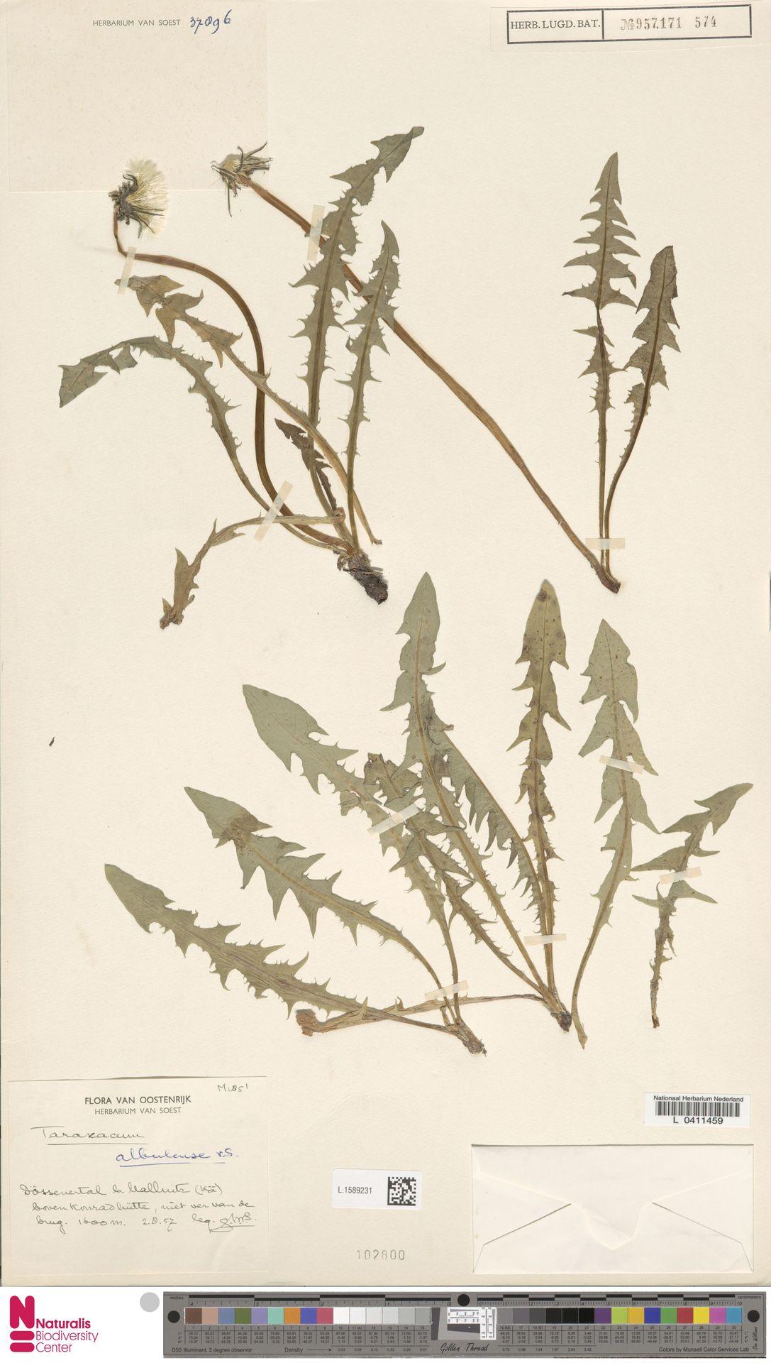 L.1589231 | Taraxacum albulense Soest