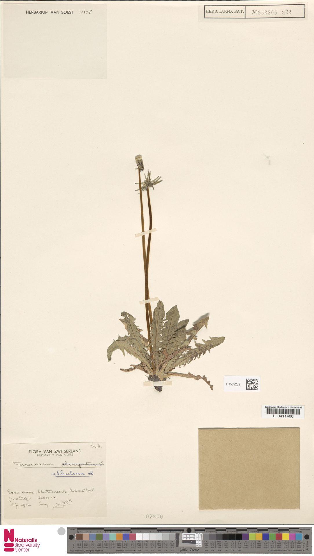 L.1589232   Taraxacum albulense Soest