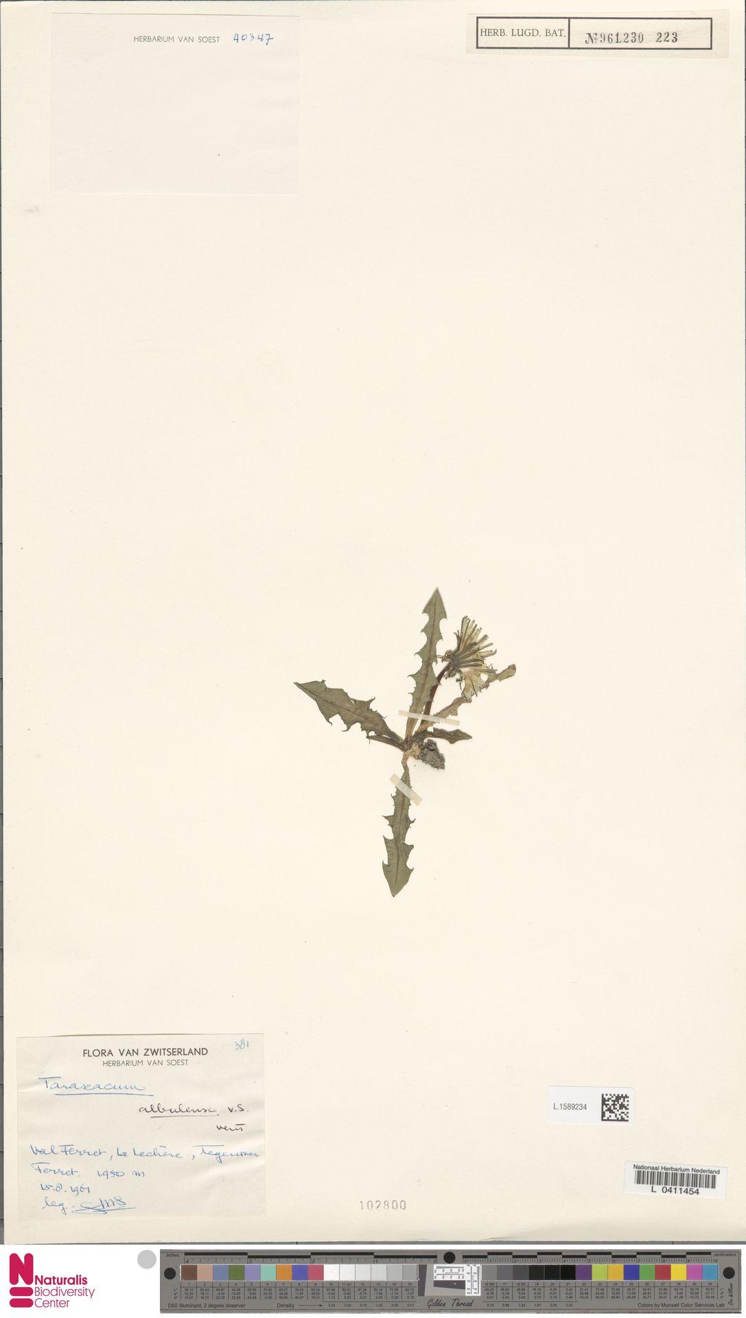L.1589234   Taraxacum albulense Soest