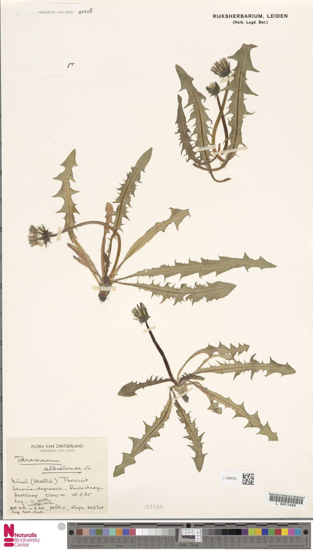 L.1589235   Taraxacum albulense Soest