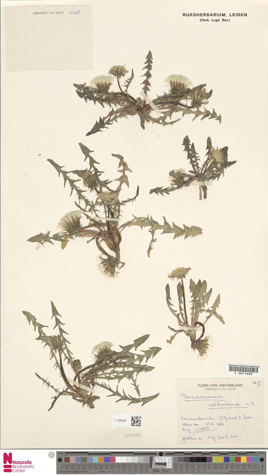 L.1589236 | Taraxacum albulense Soest