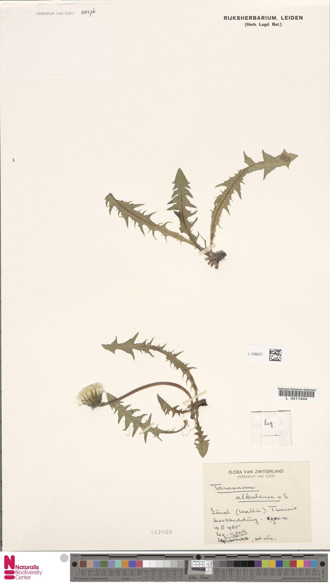 L.1589237 | Taraxacum albulense Soest