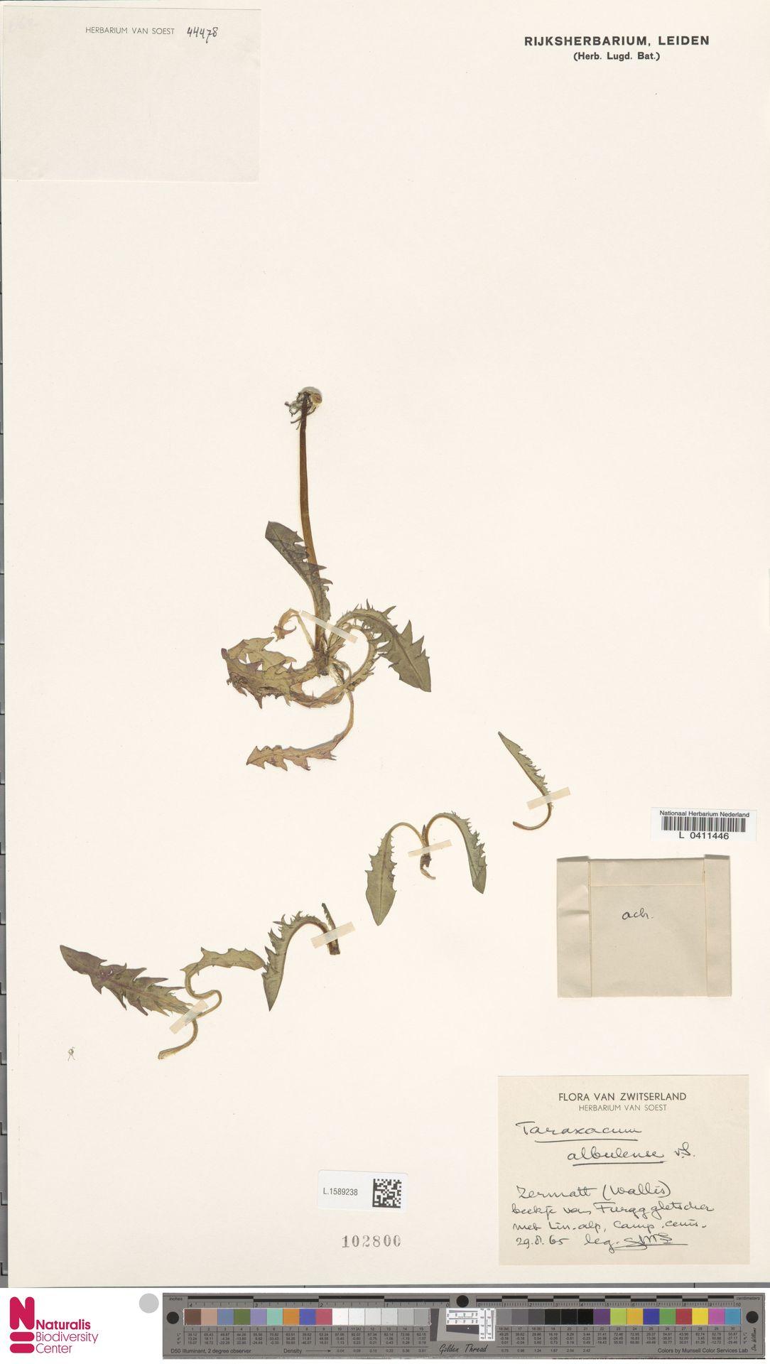 L.1589238 | Taraxacum albulense Soest