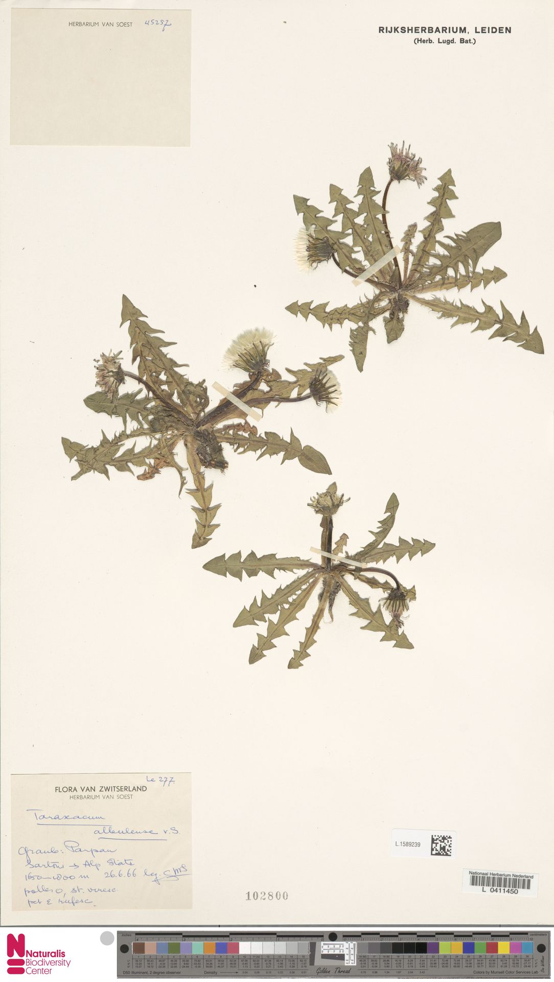 L.1589239   Taraxacum albulense Soest