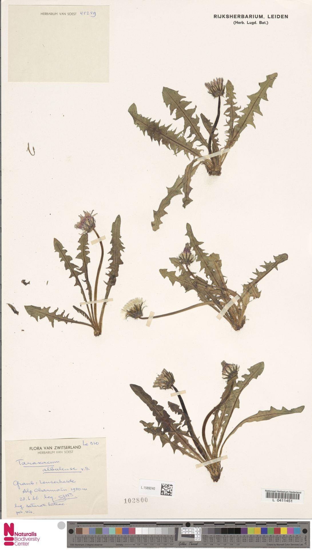 L.1589240 | Taraxacum albulense Soest