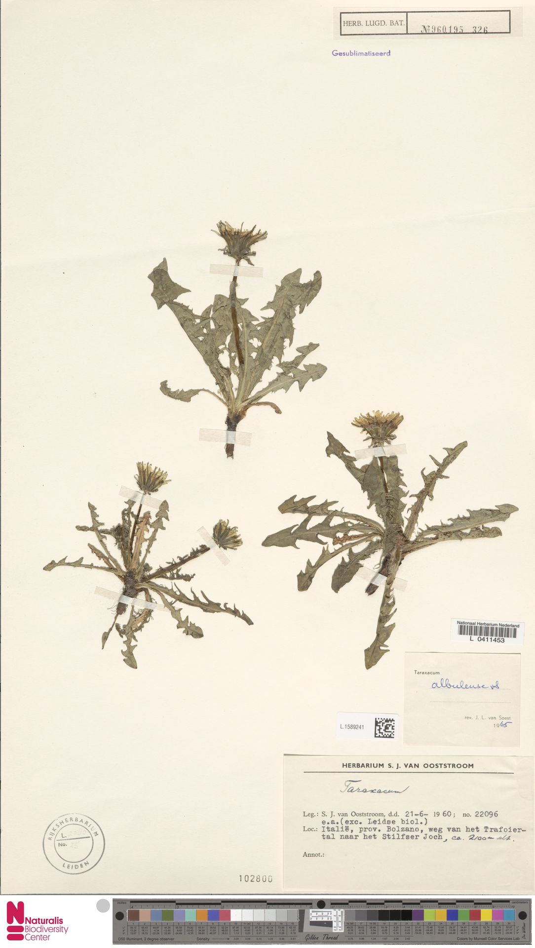 L.1589241   Taraxacum albulense Soest
