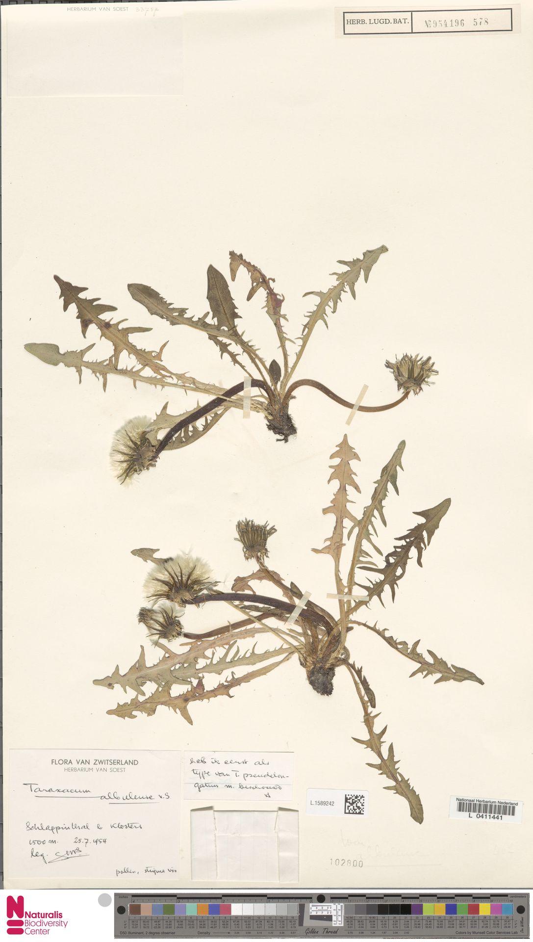 L.1589242 | Taraxacum albulense Soest