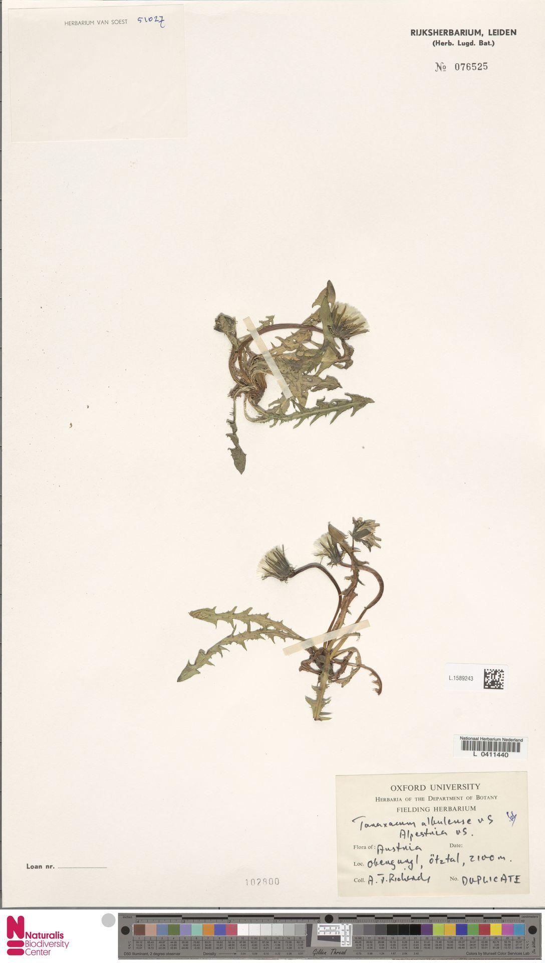 L.1589243 | Taraxacum albulense Soest