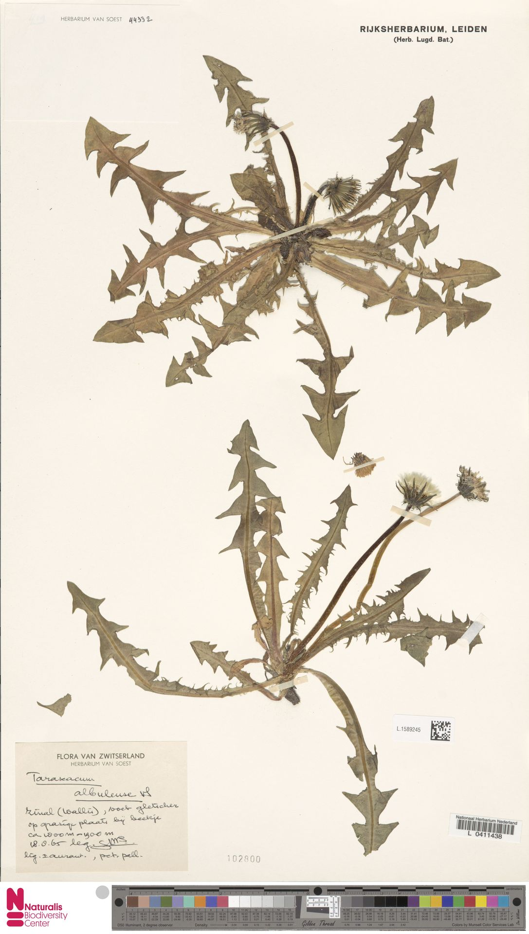 L.1589245 | Taraxacum albulense Soest