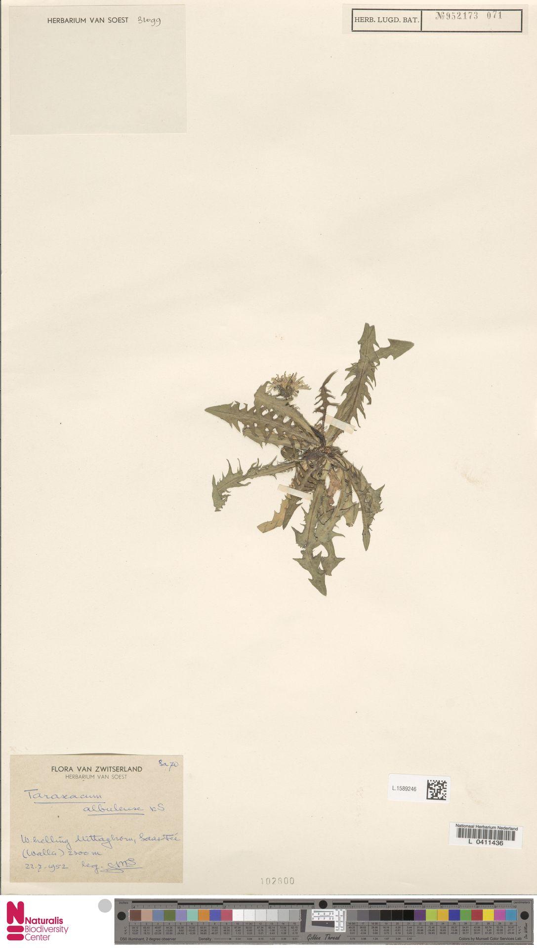L.1589246   Taraxacum albulense Soest