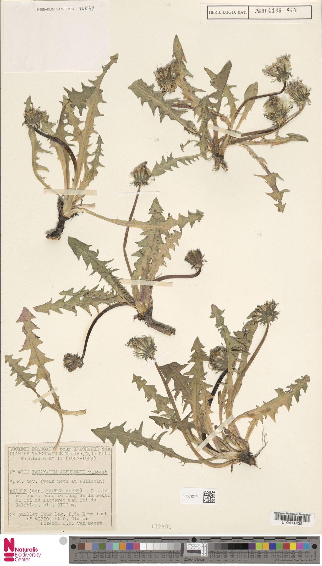 L.1589247   Taraxacum albulense Soest