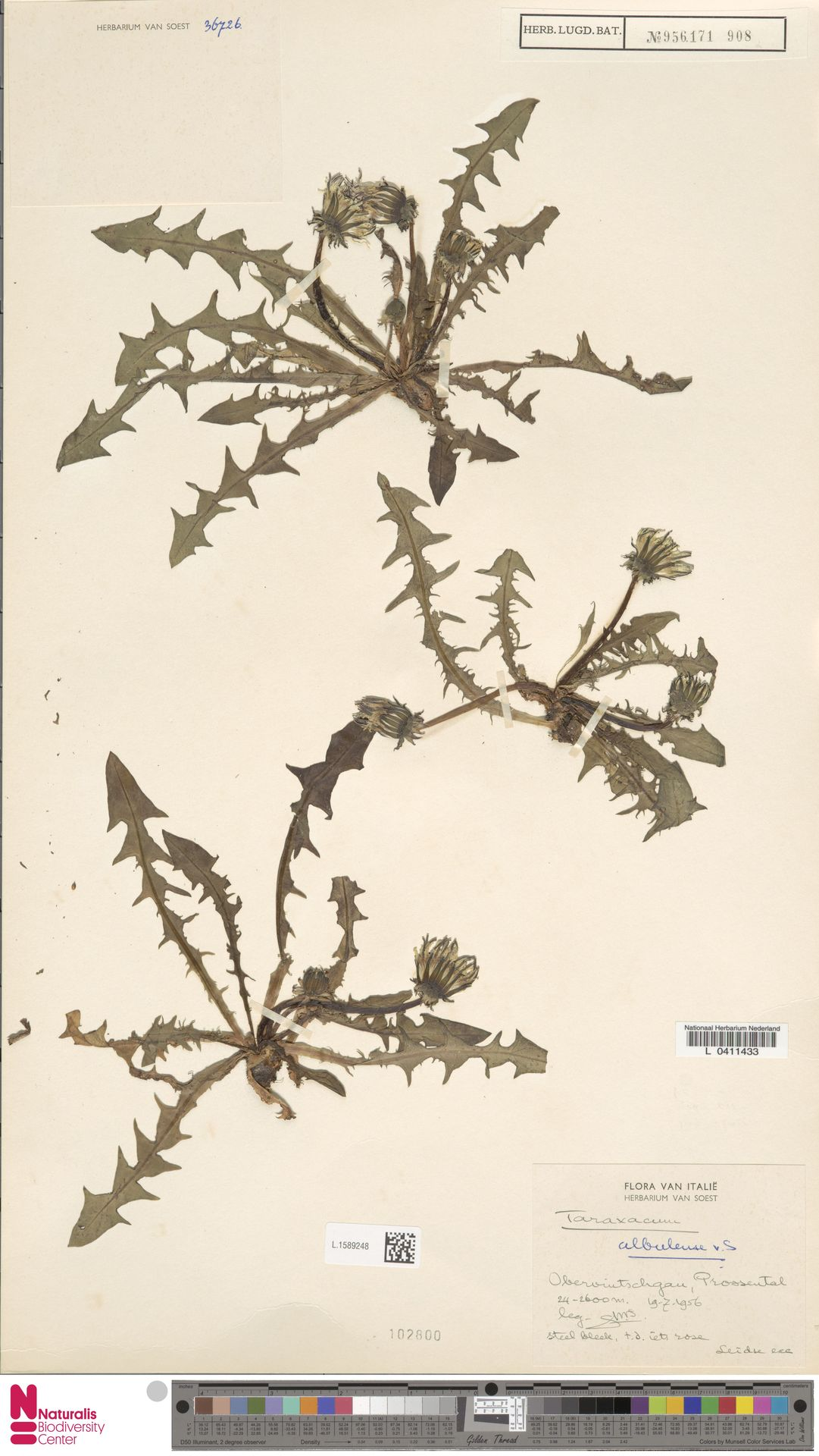 L.1589248   Taraxacum albulense Soest