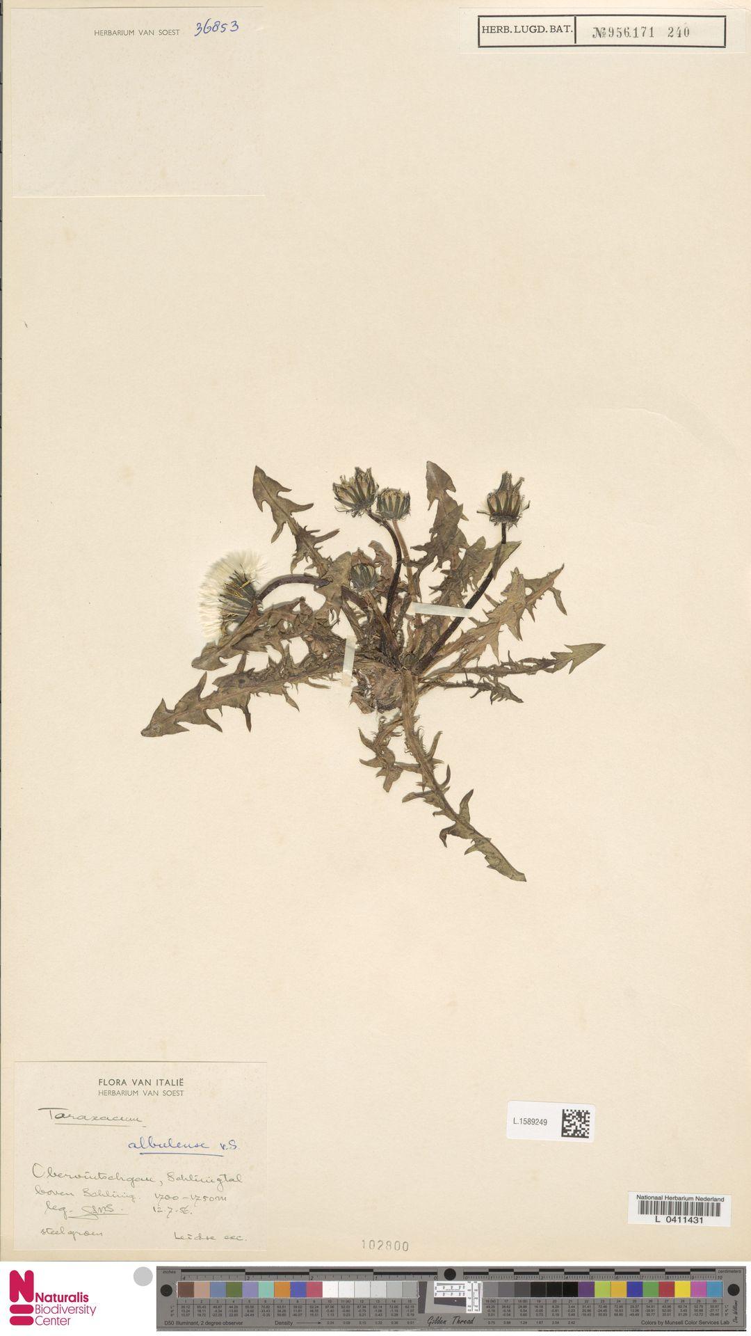 L.1589249 | Taraxacum albulense Soest