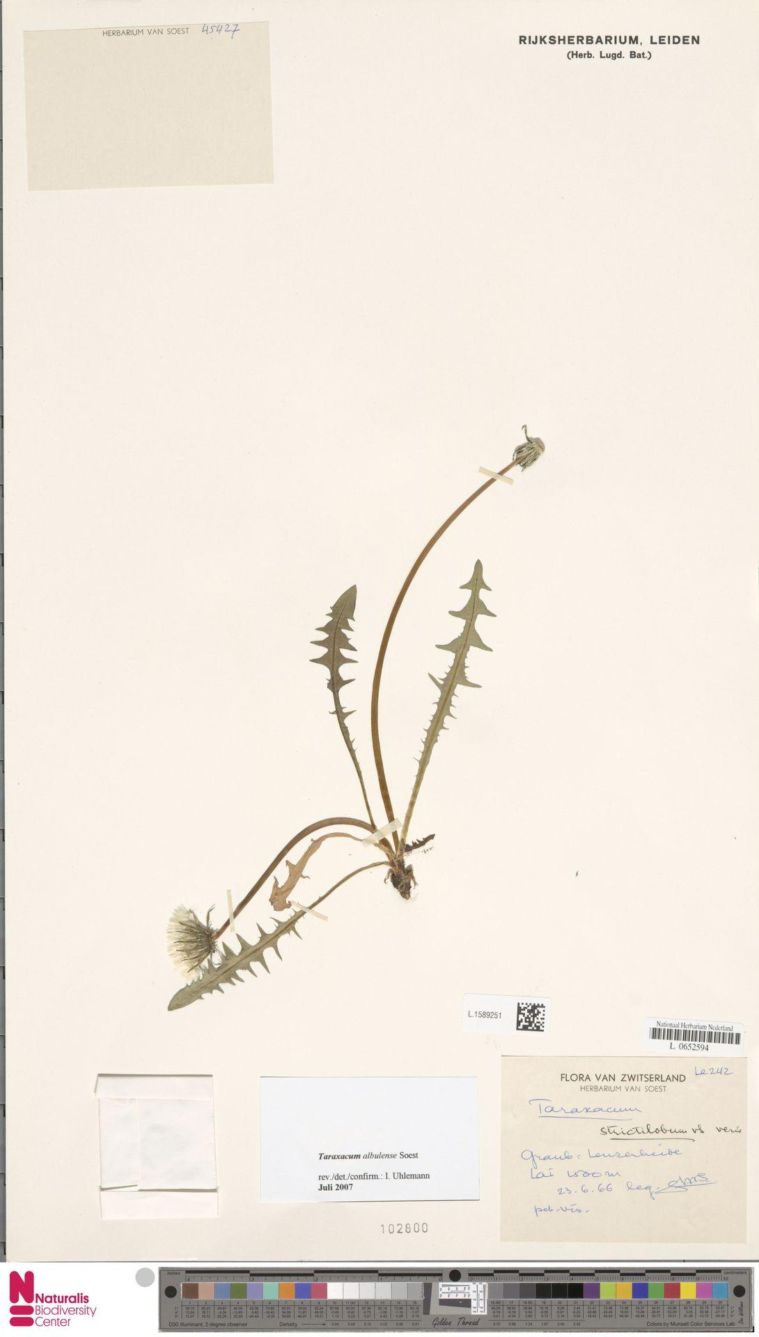 L.1589251 | Taraxacum albulense Soest