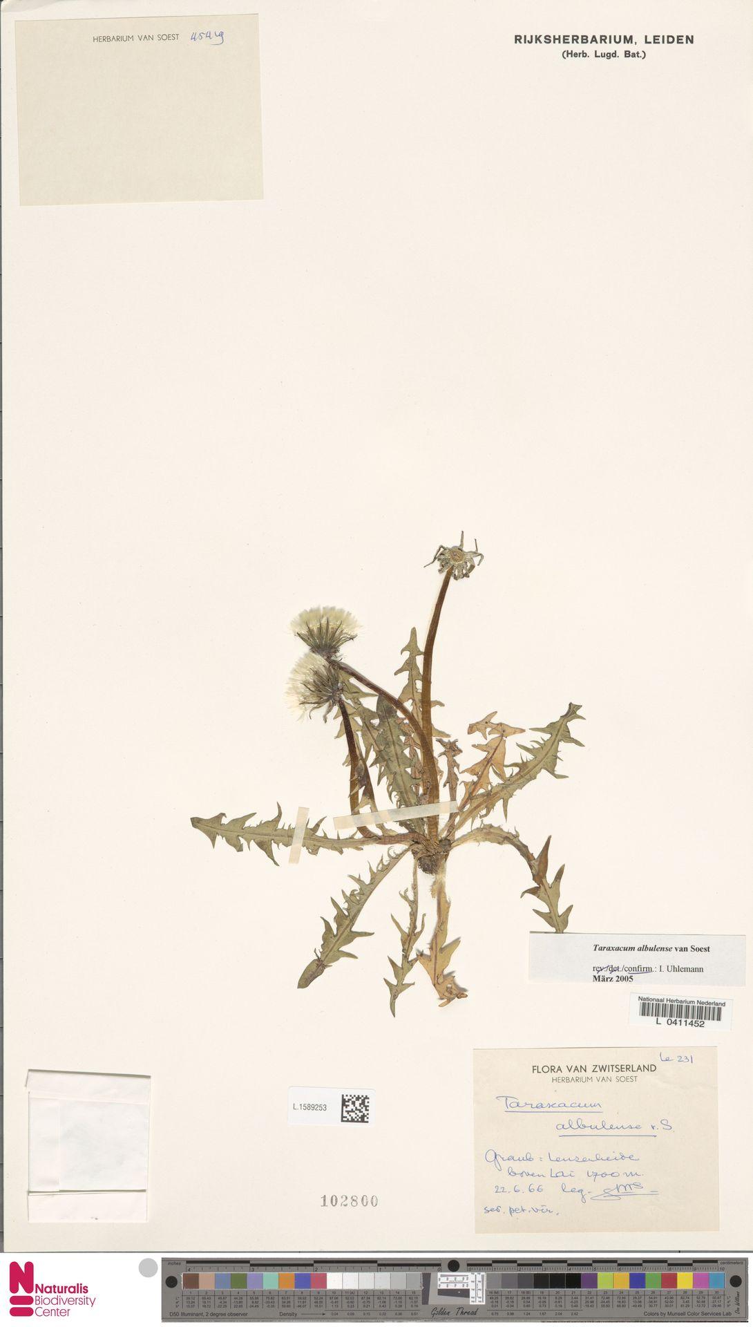 L.1589253 | Taraxacum albulense Soest