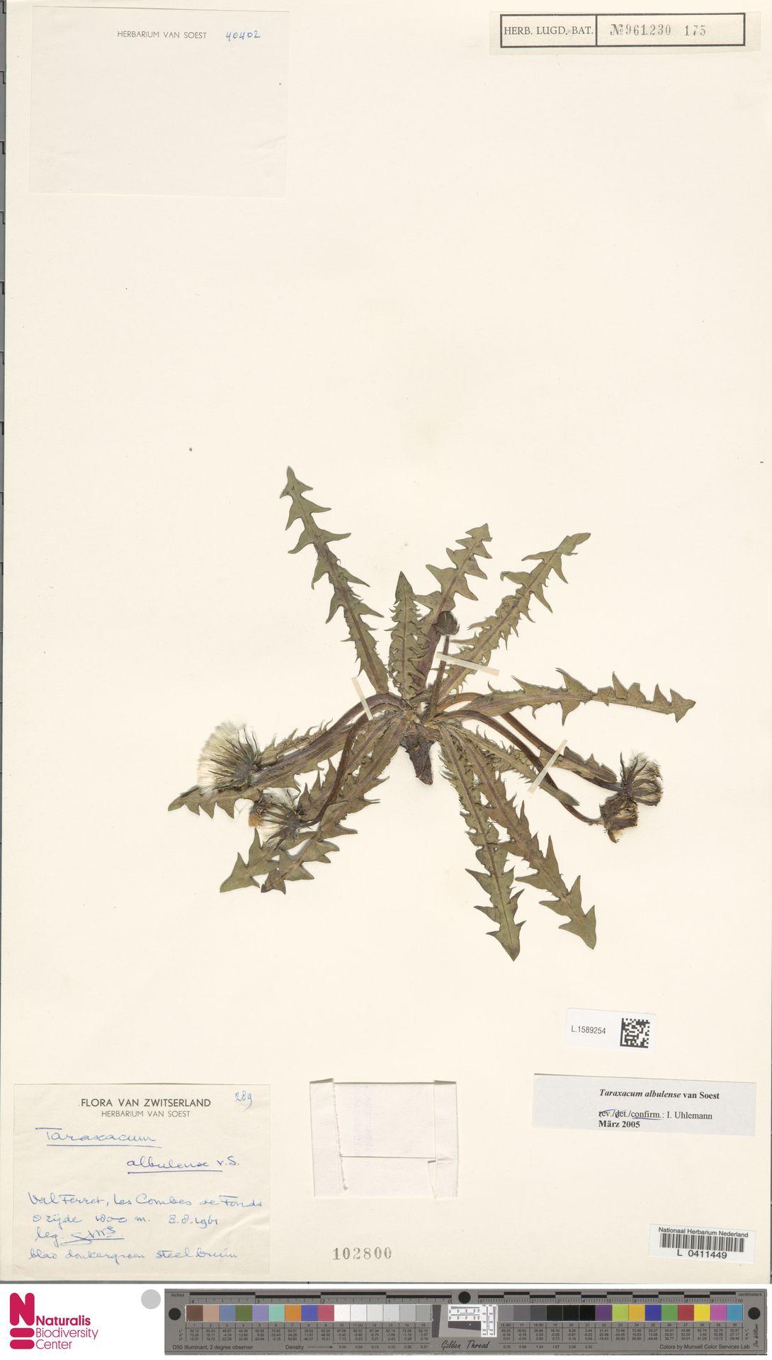 L.1589254 | Taraxacum albulense Soest