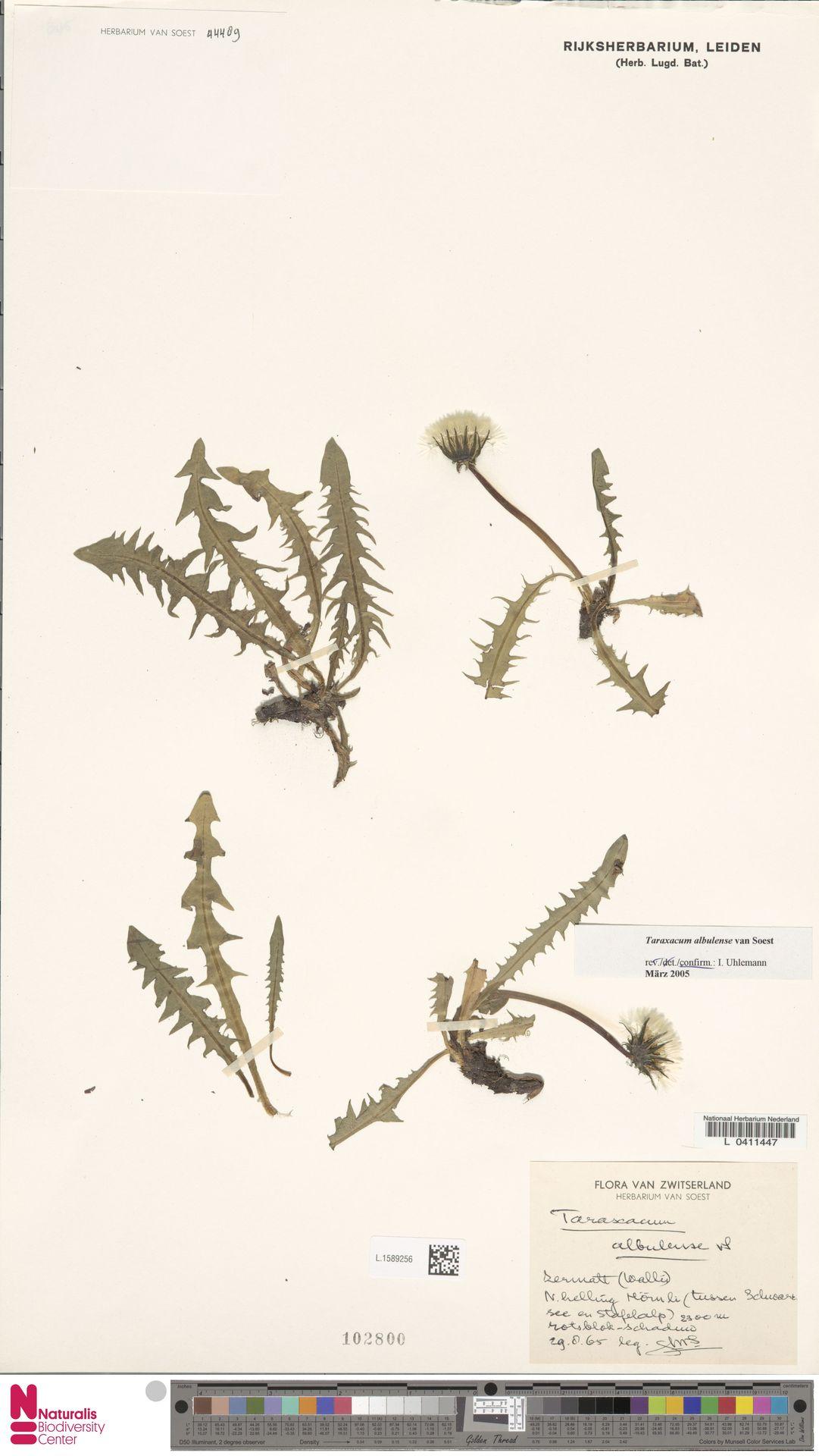 L.1589256   Taraxacum albulense Soest