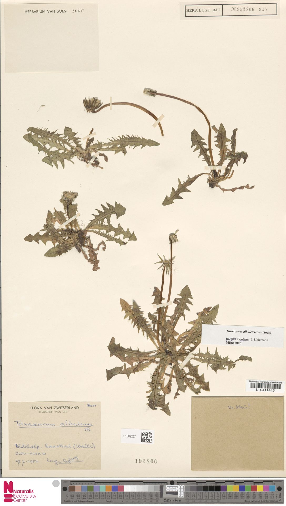 L.1589257 | Taraxacum albulense Soest