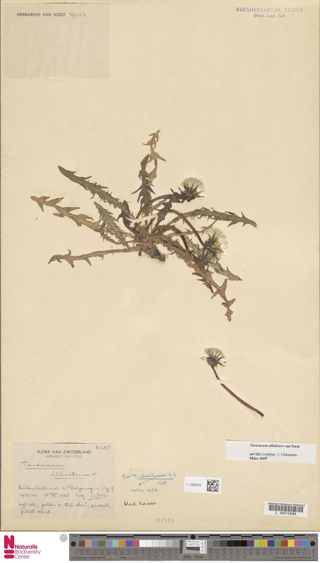L.1589259 | Taraxacum albulense Soest