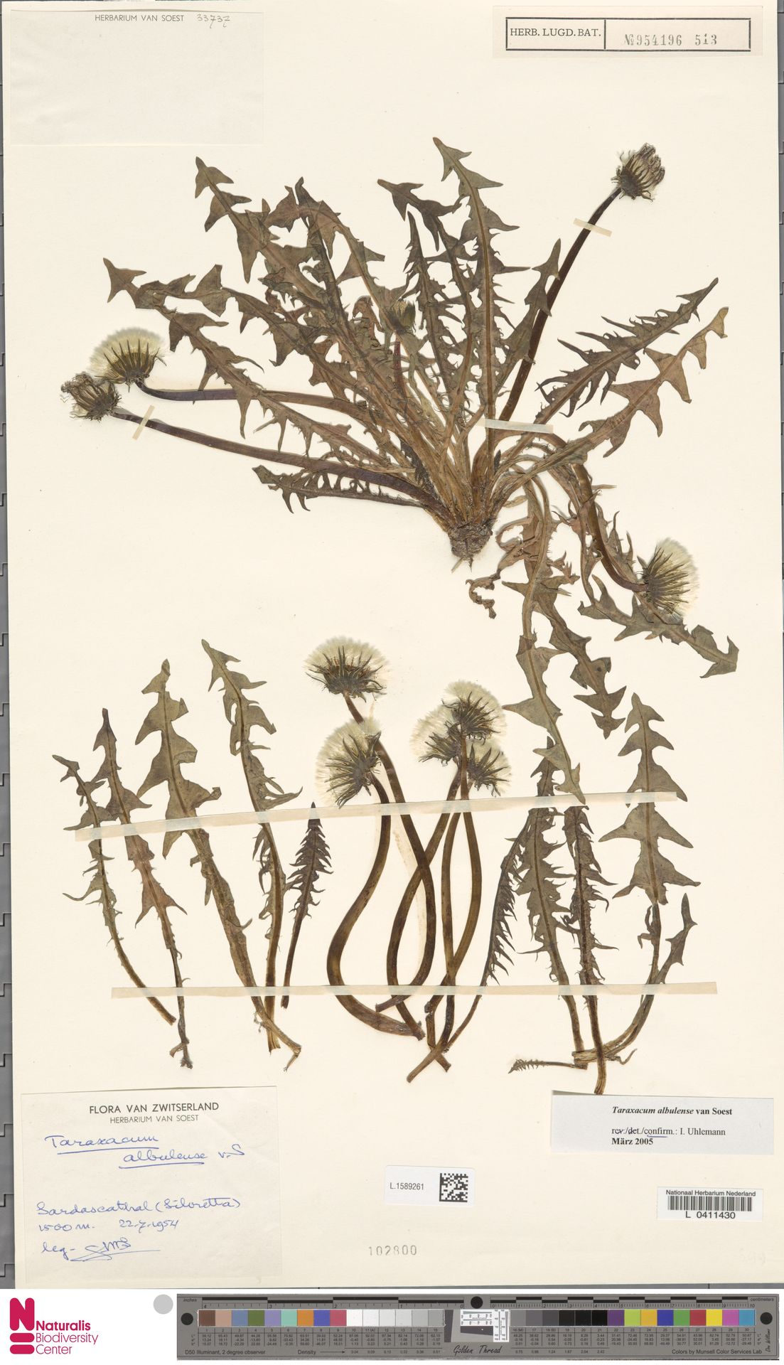 L.1589261 | Taraxacum albulense Soest