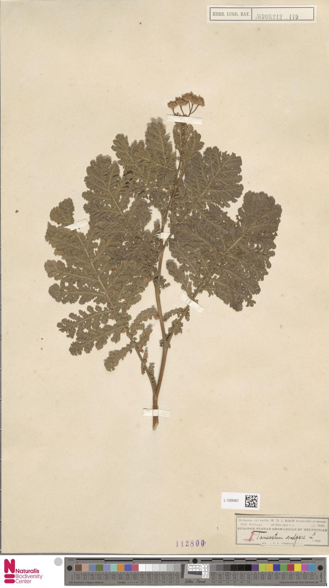 L.1589467 | Tanacetum vulgare L.