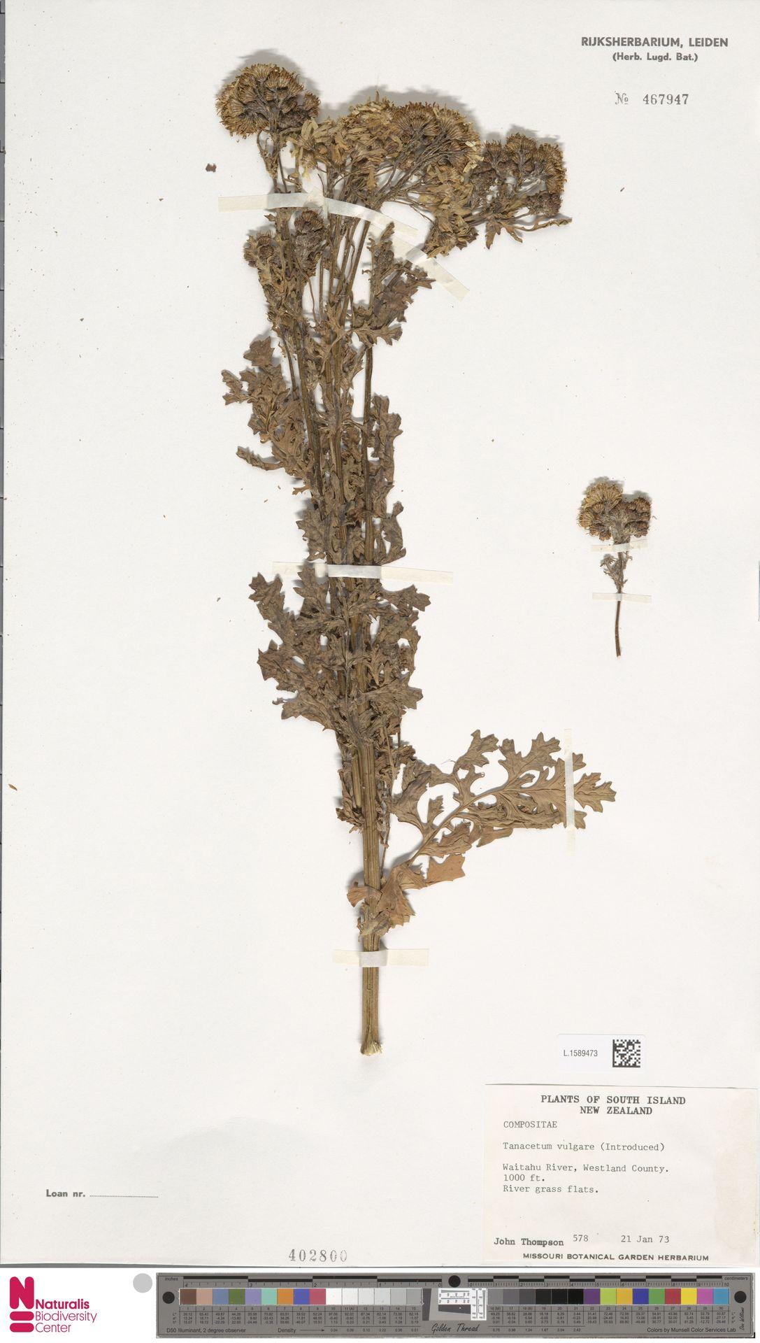 L.1589473 | Tanacetum vulgare L.