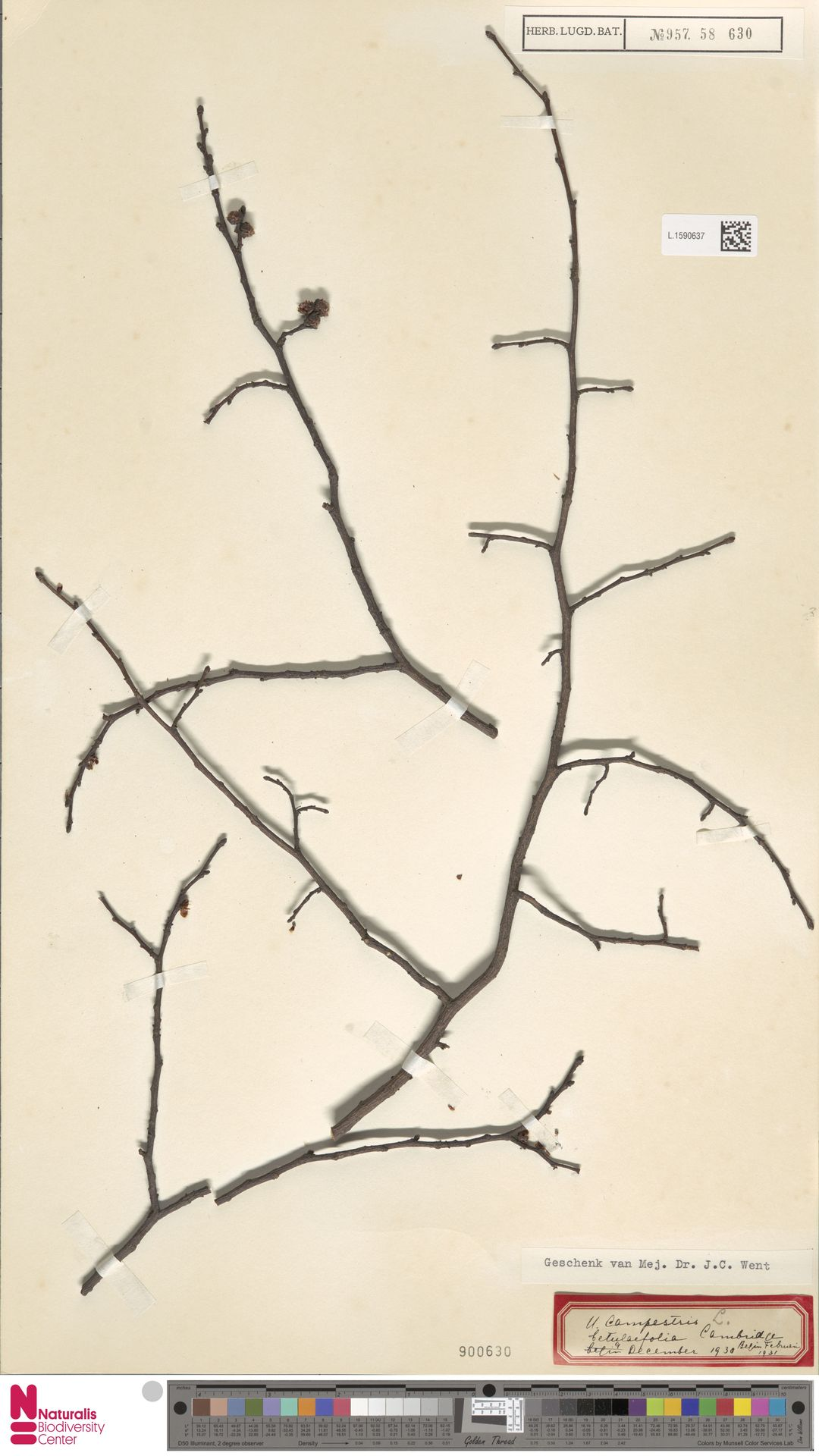 L.1590637 | Ulmus campestris var. betulaefolia