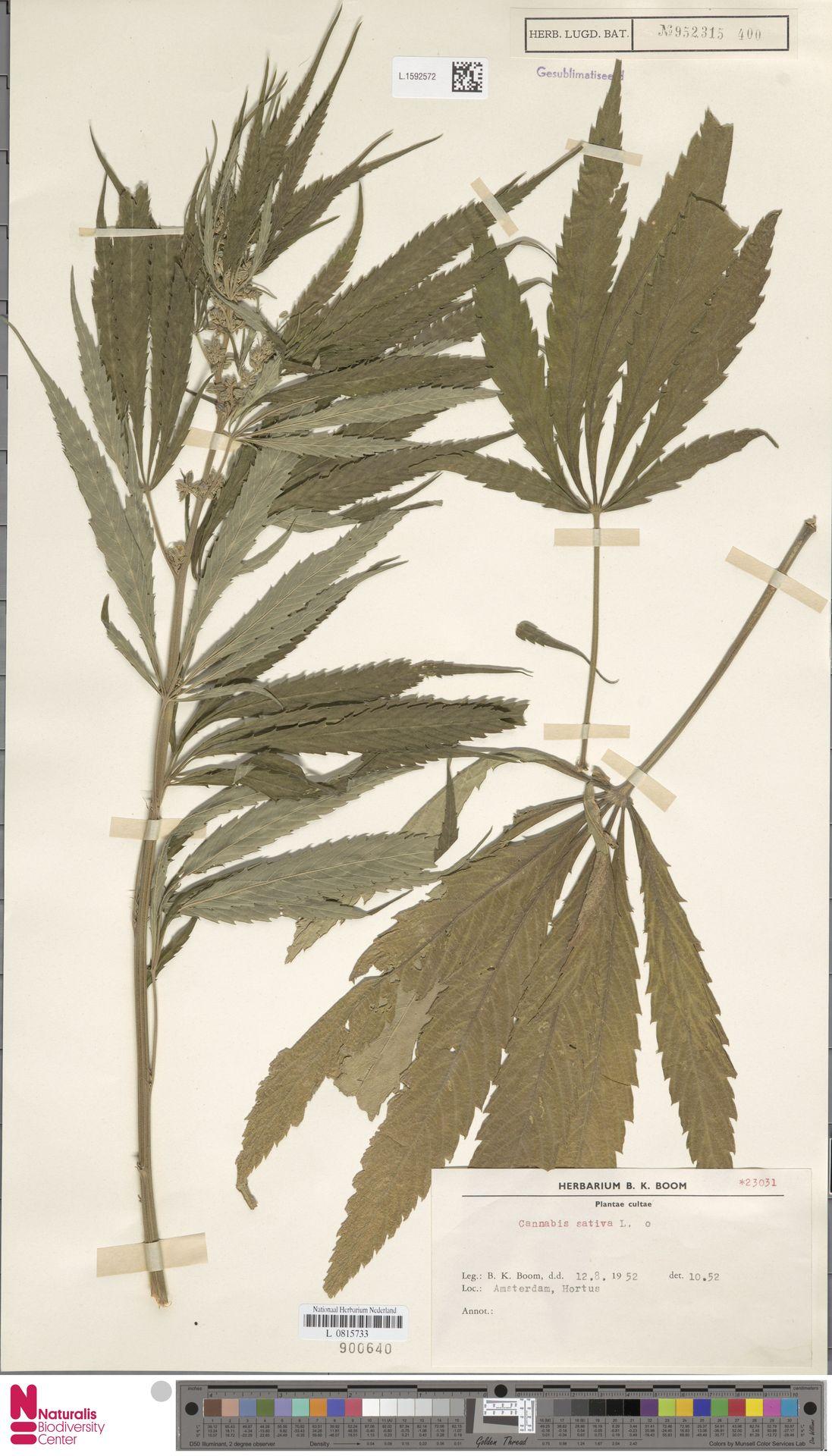 L.1592572   Cannabis sativa L.