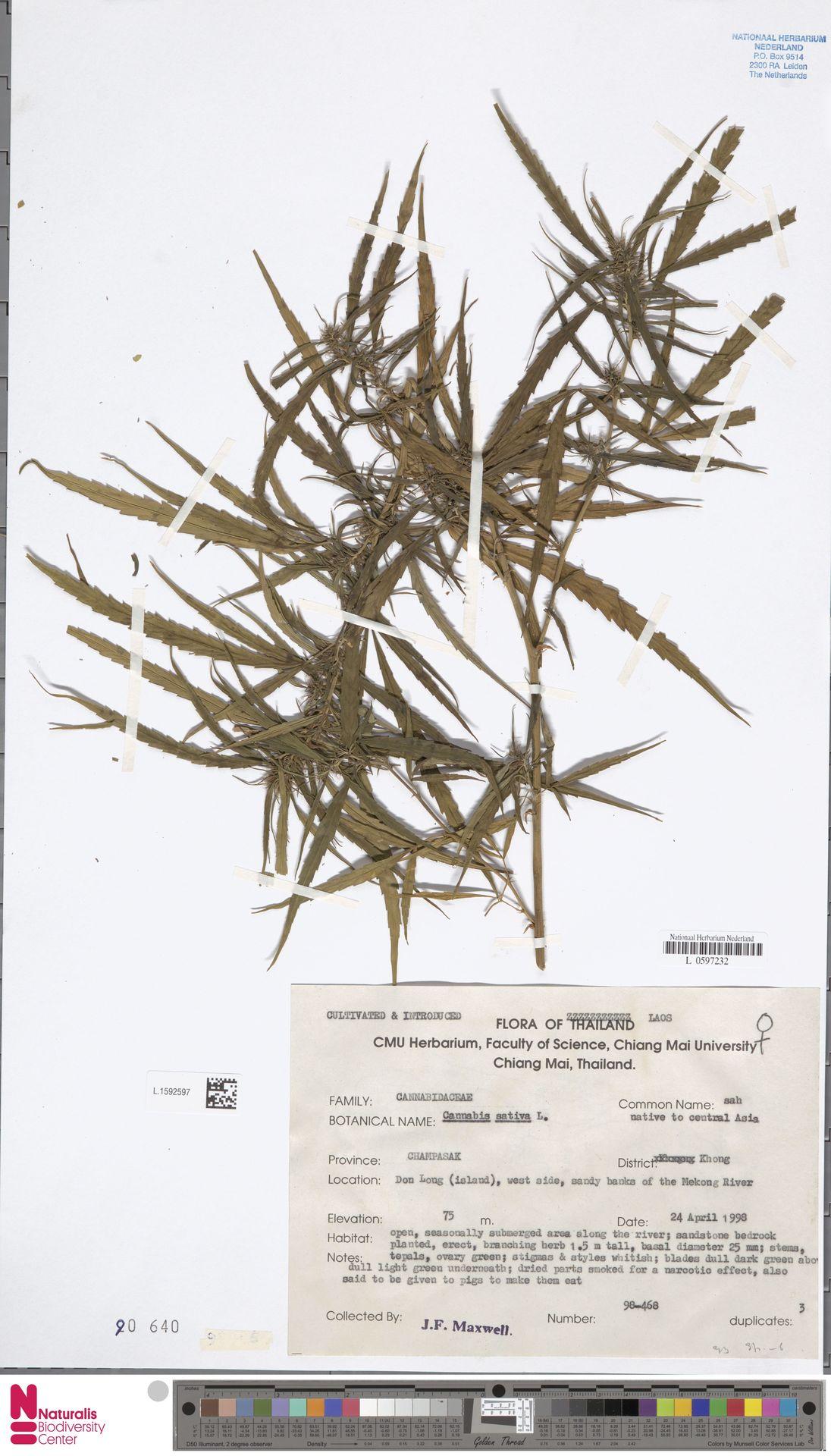 L.1592597 | Cannabis sativa L.