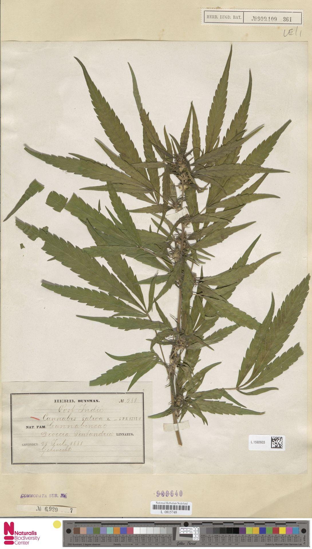 L.1592603 | Cannabis sativa L.