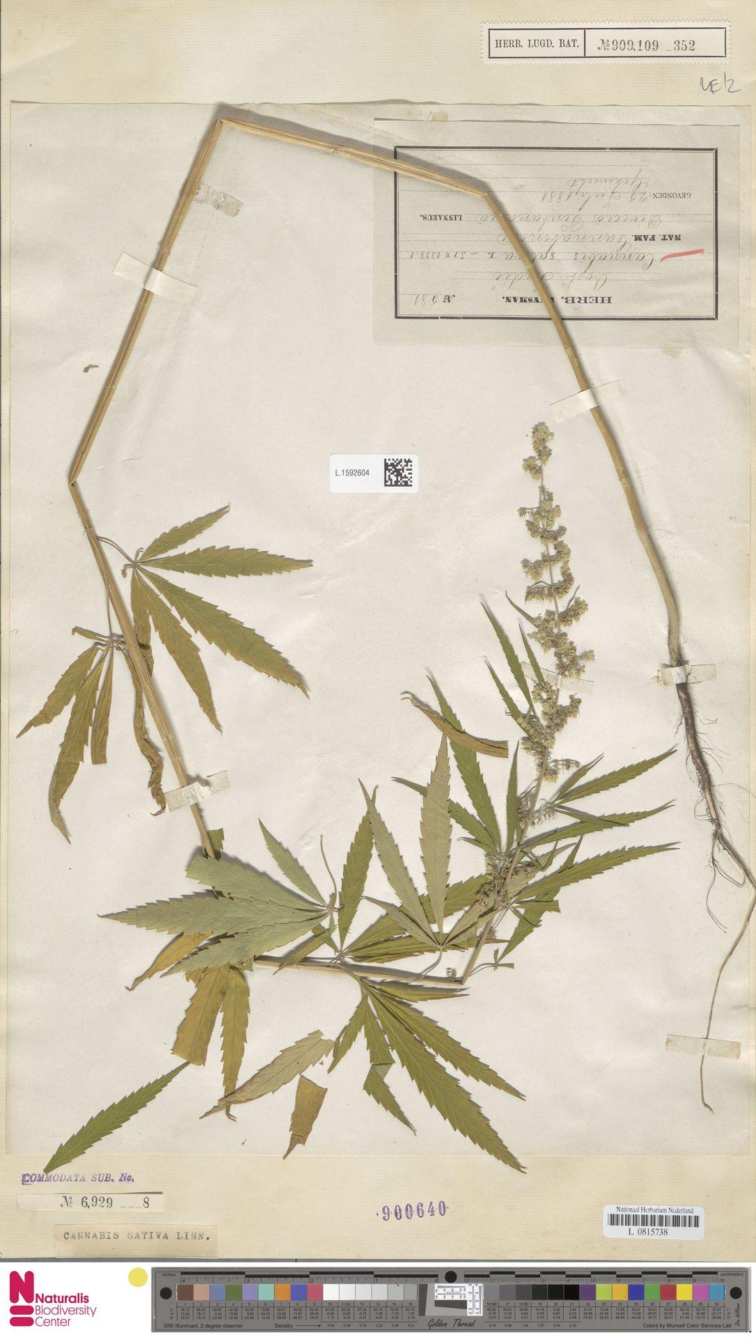 L.1592604   Cannabis sativa L.