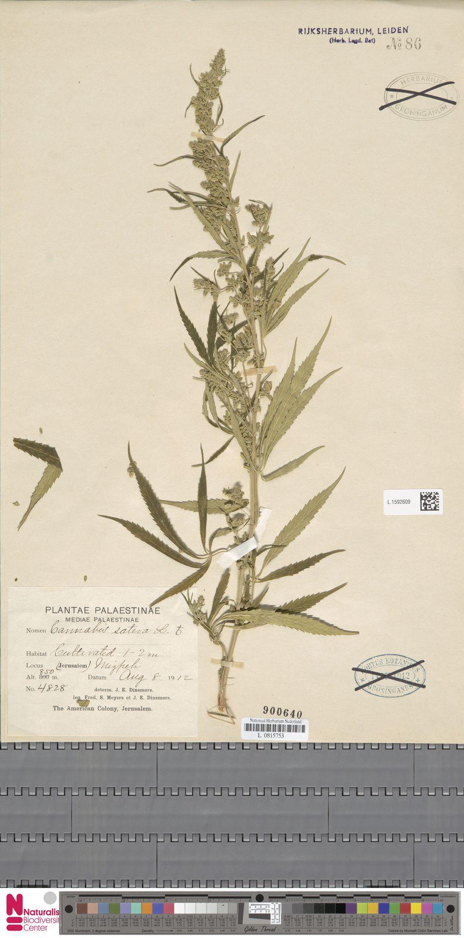L.1592609 | Cannabis sativa L.